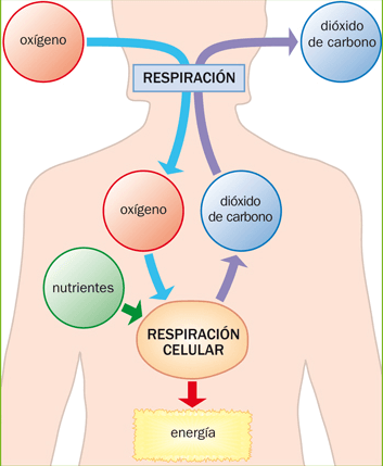 respiracion-celular